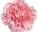 186-PinkCarnation small.jpg